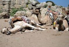 Kamele auf Strand Stockfotos