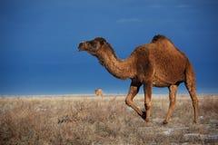 Kamele auf Winterwüste Lizenzfreies Stockfoto