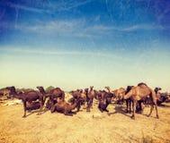 Kamele bei Pushkar Mela (Pushkar-Kamel angemessen), Indien Lizenzfreies Stockfoto