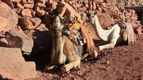 Kamele. Berg Sinai. Ägypten stock video footage