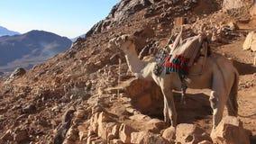 Kamele. Berg Sinai. Ägypten stock footage