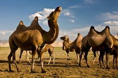 Kamele an den Gobi-Dünen Lizenzfreie Stockfotos