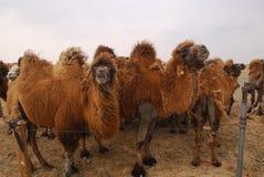 Kamele in der Gobi-Wüste, Mongolei Stockfotografie