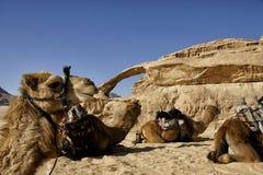 Kamele in der Jordanien-Wüste Lizenzfreies Stockfoto