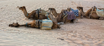 Kamele in der Sahara-Wüste Lizenzfreie Stockfotografie