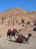 Kamele in der verlorenen Stadt von PETRA stockfoto