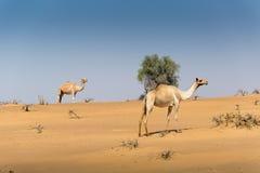 Kamele in der Wüste Lizenzfreie Stockfotografie