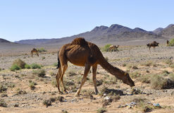 Kamele in der Wüste, Marokko Stockfotos