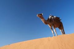 Kamele in der Wüste Sahara Stockfotografie