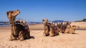 Kamele, die auf Strand in Australien stillstehen stockbild