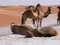 Kamele, die im Sand rollen Stockfotografie