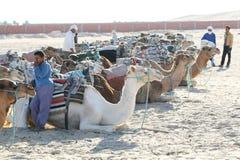 Kamele, die sich hinlegen Stockfotos