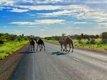 Kamele, die Stuart Highway in Australien kreuzen lizenzfreies stockfoto