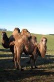 Kamele Dromedaries lizenzfreie stockfotografie