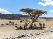 Kamele haben einen Rest unter einem Baum im Nationalpark Ngorongoro Lizenzfreies Stockbild