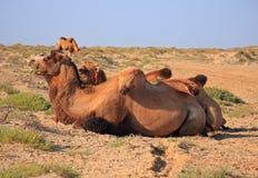 Kamele in Halbwüsten- fast Baia de Zaburunie in Kaspischem Meer lizenzfreie stockbilder