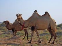 Kamele in Halbwüsten- fast Baia de Zaburunie in Kaspischem Meer stockfotos