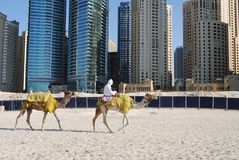 Kamele im Dubai-Jachthafenstrand Lizenzfreies Stockfoto