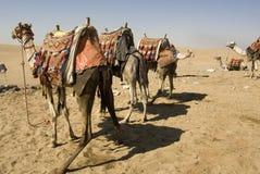 Kamele im Kleid lizenzfreie stockfotos