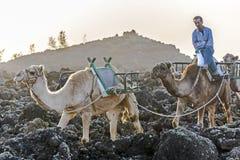 Kamele im Sonnenuntergang Stockfotos