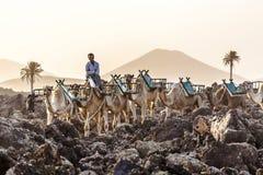 Kamele im Sonnenuntergang Stockbilder