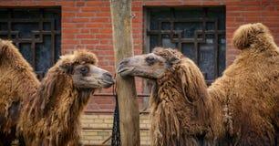 Kamele im Zoo lizenzfreies stockfoto