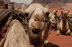 Kamele in Jordanien stockfotografie