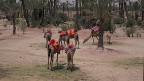 Kamele in Marokko, Marrakesch stock video