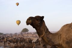 Kamele mit Heißluft steigt in Pushkar-Kamel ehrlich im Ballon auf Lizenzfreie Stockbilder
