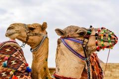 Kamele nahe den großen Pyramiden in Giseh, Ägypten stockfotografie