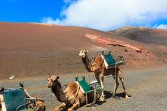 Kamele in Nationalpark Timanfaya auf Lanzarote Stockfotografie