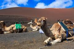 Kamele in Nationalpark Timanfaya auf Lanzarote Stockfoto