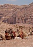 Kamele in PETRA Stockbild