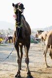 Kamele an Pushkar-Kamel angemessen, Pushkar, Ajmer, Rajasthan, Indien Lizenzfreie Stockfotos