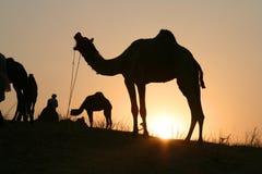 Kamele am Sonnenuntergang Lizenzfreie Stockbilder