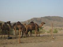 KAMELE VON SAUDI-ARABIEN lizenzfreies stockfoto