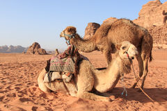 Kamele in Wadi Rum verlassen, Jordanien, bei Sonnenuntergang Stockfotografie