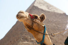 kamelegypt giza pyramid Royaltyfri Fotografi