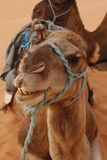 Kamelen stock afbeelding