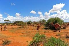 Kamelen Stock Afbeeldingen