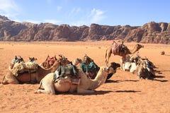 Kamelen Stock Fotografie
