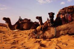 Kamelen Royalty-vrije Stock Foto's