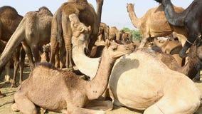 kamelen stock video