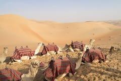 kamelen Royalty-vrije Stock Afbeelding