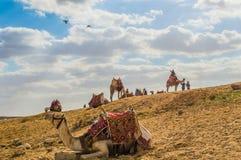 kamelen Stock Foto
