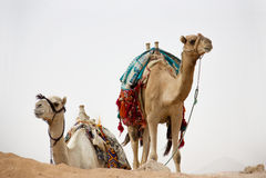 Kamelen in aard Royalty-vrije Stock Afbeeldingen
