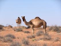 Kamelen in Arabische woestijn Stock Afbeelding