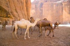 Kamelen in bergwoestijn in Tsjaad Stock Afbeelding
