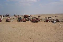 Kamelen bij de Piramides, Egypte Stock Afbeelding