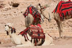 Kamelen bij Petra, Jordanië Stock Foto